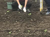 黒豆の苗を移植1