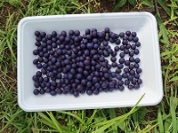 黒豆の播種1