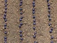 黒豆の播種2